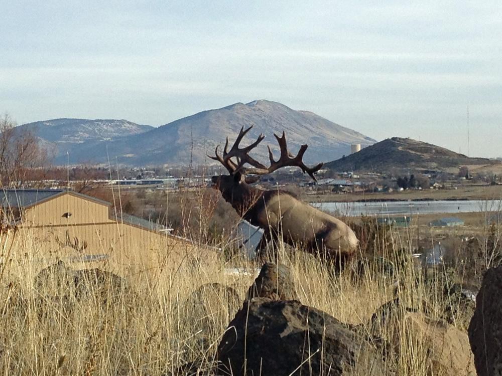 Life-sized elk reproduction - Savides Sculpture Sculpture Commissions One of a kind Sculpture
